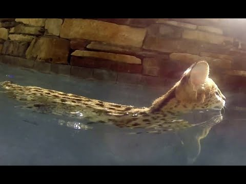 Buddy Serval Swimming
