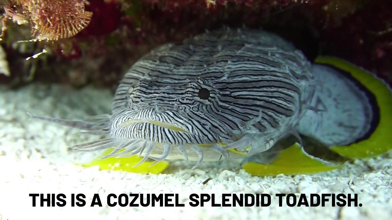 Cozumel Splendid Toadfish 1 Marine Animal in 1 Minute🕰 Vol 8.