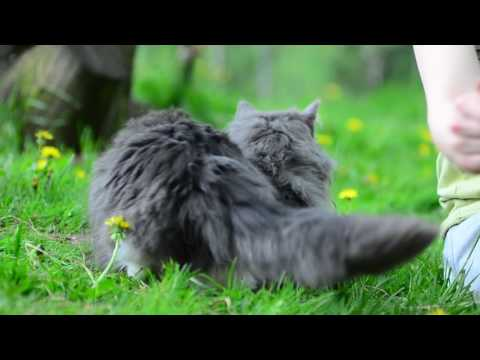 blue and white maine coon male - 11 months old Su meile Double trouble