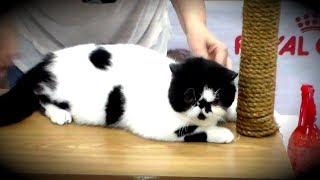 Экзоты Ласковые и Нежные - Идеальные Домашние Животные | ПОРОДЫ КОШЕК