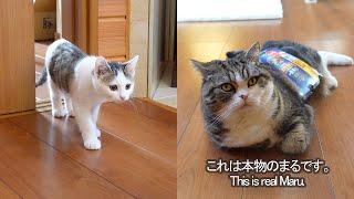 リアルなまるのぬいぐるみとねこ。-Realistic stuffed Maru and cats.-