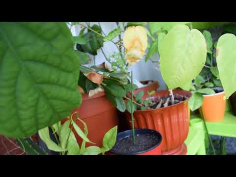 Выращивание фейхоа из косточки в домашних условиях
