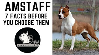 Before you buy a dog  AMSTAFF  7 facts to consider!  DogCast TV