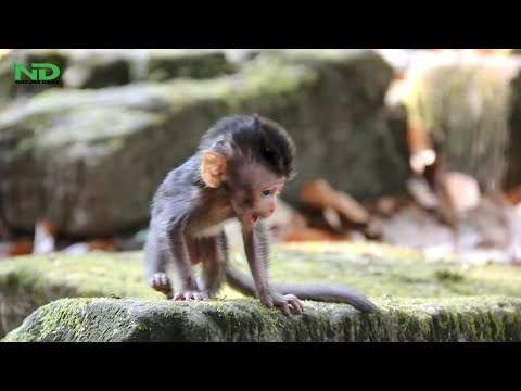Strong Baby Monkey No Need His Mom Anymore, Nature Daily