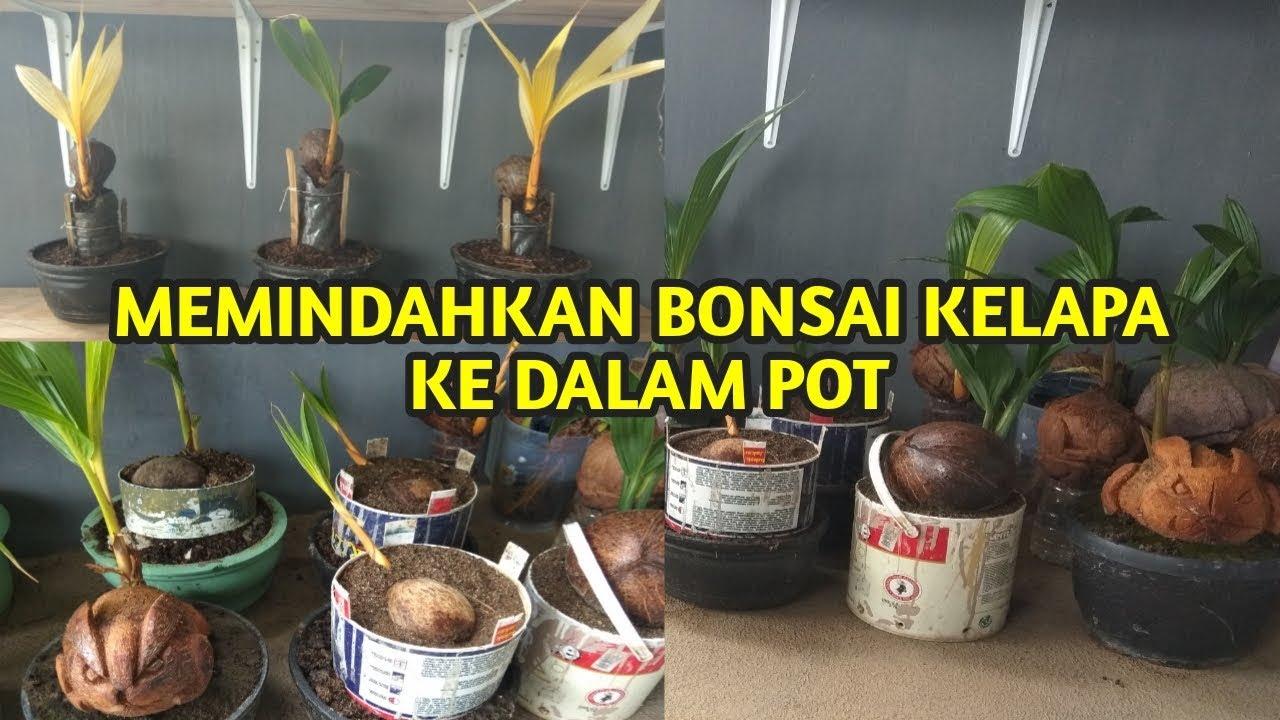 Bonsai Kelapa Dari Media Air Pindah Ke Media Tanah Untuk Pemula