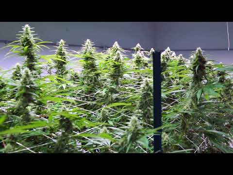 Justin Farms Legal Medical Cannabis LED Grow | Pacific Light Concepts