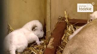 Małe białe lwiątka z Borysewa