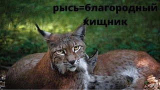 Кавказская рысь