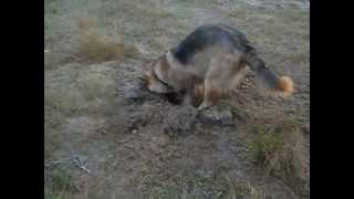 Как собака роет яму под костер