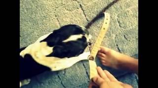 Что делать если собака не хочет идти гулять?решение есть смотри дальше.(Я в ^Vk:http://vk.com/tvoyrotebal11., 2016-07-23T08:43:26.000Z)