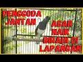 Pancingan Kacer Betina Memancing Kacer Jantan Agar Naik Birahi Tinggi Dilapangan Kontes  Mp3 - Mp4 Download