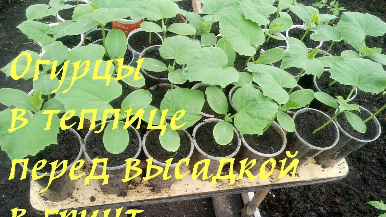 Овощные культуры для совместного выращивания в теплице
