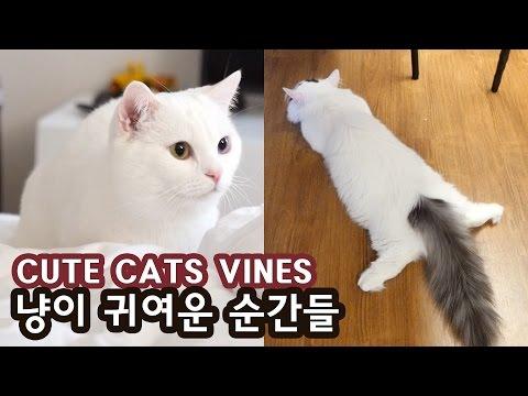 꼬부기 쵸비 귀여운 순간들 CUTE CATS VINES COMPILATION