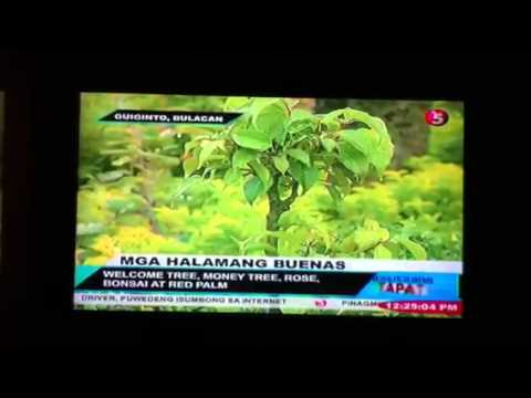 Makatang Gala (Mga pampaswerteng Halaman) 01-5-2012
