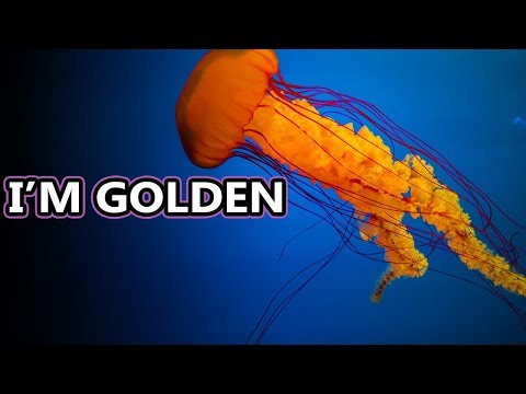 Sea Nettle Jellyfish: The Golden Jellyfish | Animal Fact Files