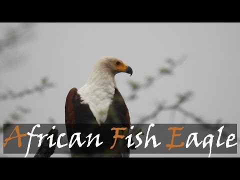 African Fish Eagle (Haliaeetus Vocifer) Bird Call | Fish Eagle Calling | Stories Of The Kruger