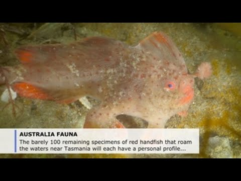 Australia Campaigns To Save Last Remaining Red Handfish From Extinction