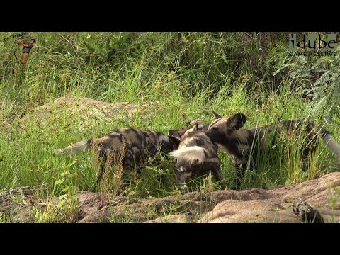 Incredible Sight As African Painted Dogs Catch A Bushbuck!!!