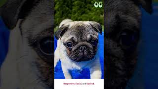 Teacup Pug  Dog Breed Guide   #shorts  petmoo