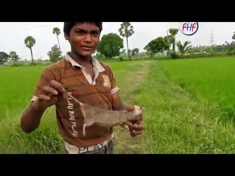 Swamp Rat Catching in Rice Field | Rat Hunting with Smoked | How to trap Rats catcher technique