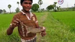 Rat Catching In Rice Field   Rat Hunting   How To Trap Rats Hunter