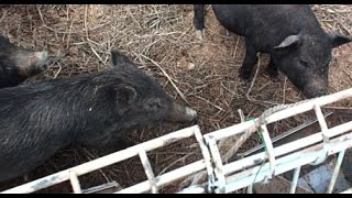 【リュウキュウイノシシ】私の友人が畜産業を始めるというので遊びに行...