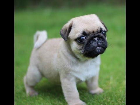 Angry Pug Baby - YouTube