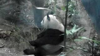 台北市立動物園大貓熊吃午餐