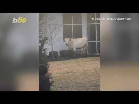 Andi and Kenny  - Runaway Cow's Journey to Chick-fil-A Goes Viral