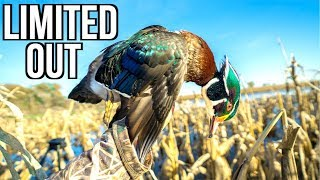 Hunting Flooded Corn Wood Ducks!!! (Limited Out!)