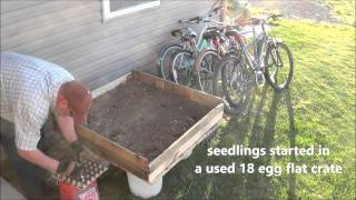 Transplanting Indoor Seedlings To Outdoor Garden Box Made Of Pallets