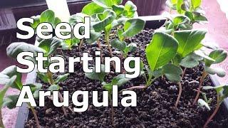 Starting Arugula Indoors