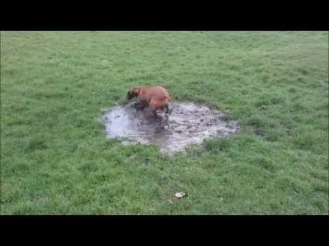 hungarian vizsla dog puddle mud