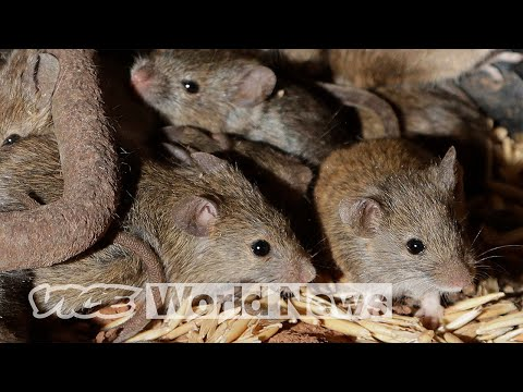 Mice Plague Intensifies: Millions Of Mice Have Become The Terrorists Of Australia