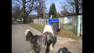 Bearded Collie Juppies Abenteuer Bad Oeynhausen Hund