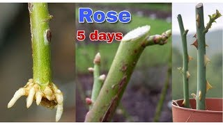 how to grow rose form cuttings