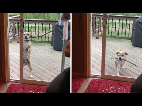Adorable Dog Can't Get Stick Inside