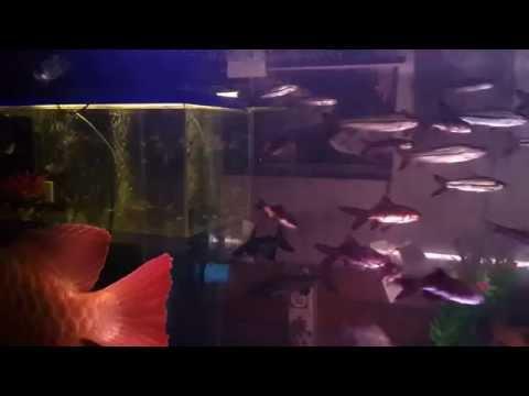 ปลามังกรแดงพาฝัน 4 บังแระ