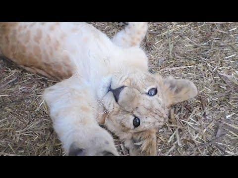 Львята и тигрята - в гостях у младшей школы. Тайган. Lions And Tigers Cubs. Taigan.