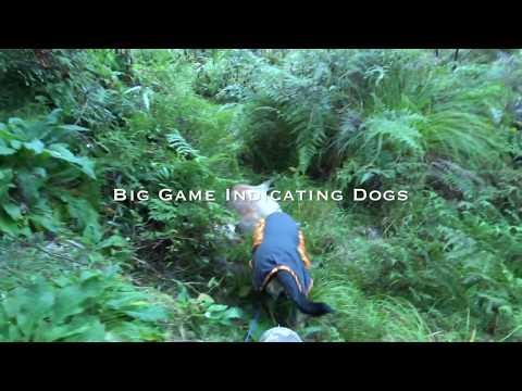 Hunting Over Big Game Indicating Dogs. (Deer Dog Hunting)