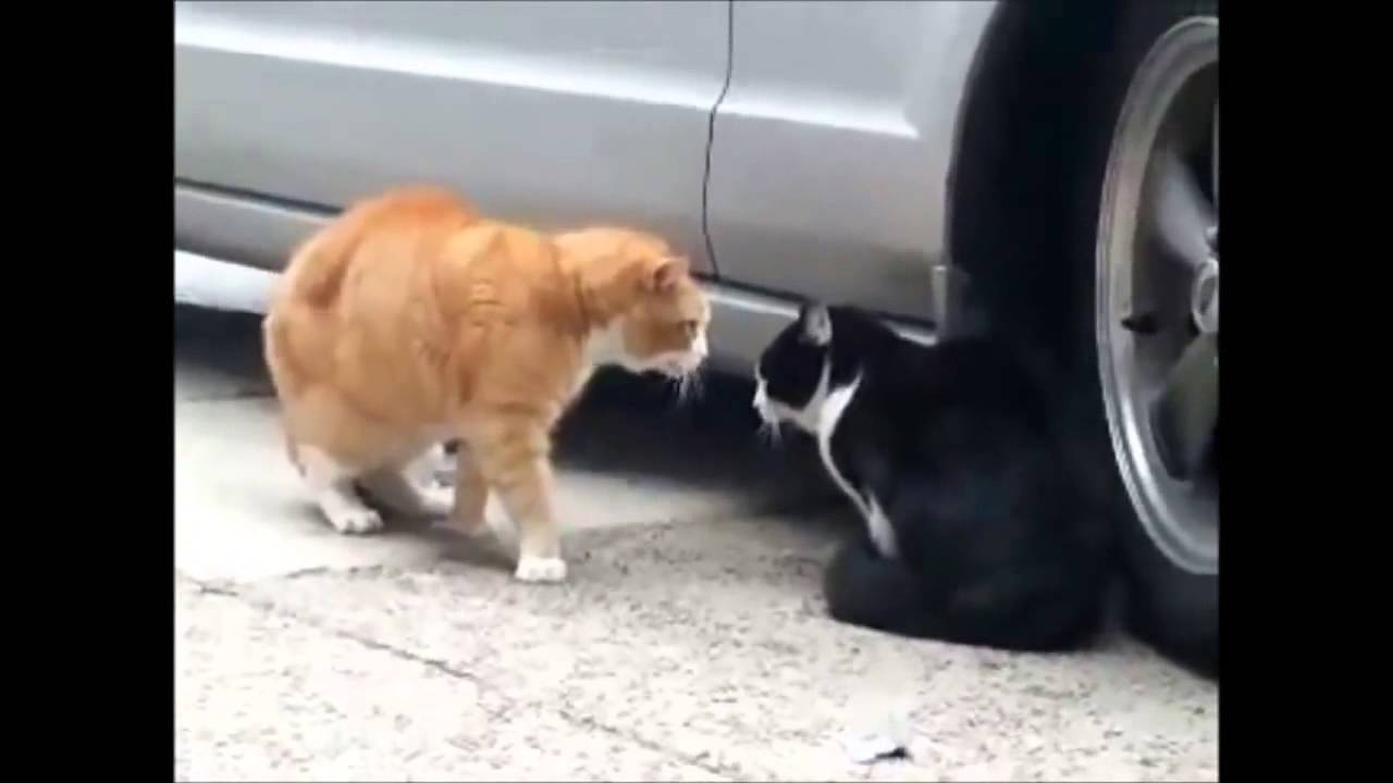 FUNNY CATS - Period - 20min clean - GATOS GRACIOSOS 2014 ... Funny Videos Clean