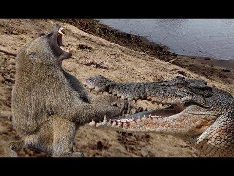 National Geographic Documentary - Crocodile vs Baboon - Wildlife Animal