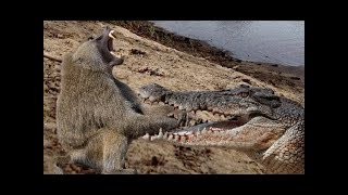 Crocodile vs Baboon - Wildlife Animal