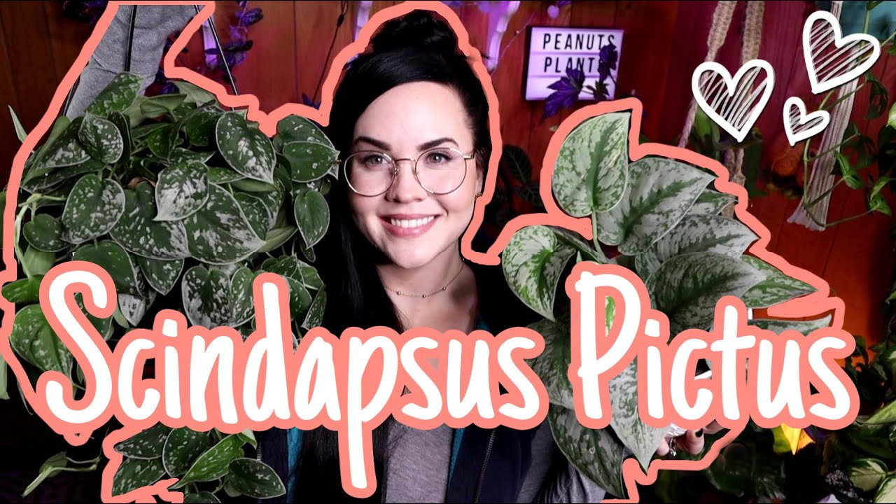 SCINDAPSUS PICTUS COLLECTION | MY FAVORTE HOUSEPLANT