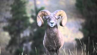 Giant Bighorn ram filmed up close in HD Canon 7d Mark II and 100-400 mm IS II USM lens