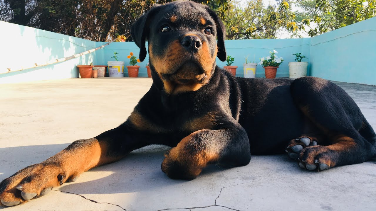 Rottweiler puppy aggressively playing #rottweiler #aggressiverottweiler #rottweilerpuppy