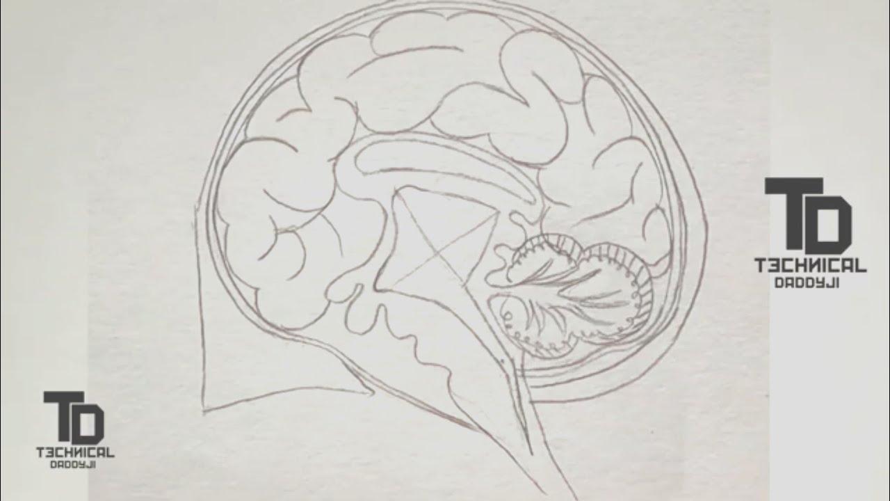 How to draw diagram of human brain | draw human brain ...