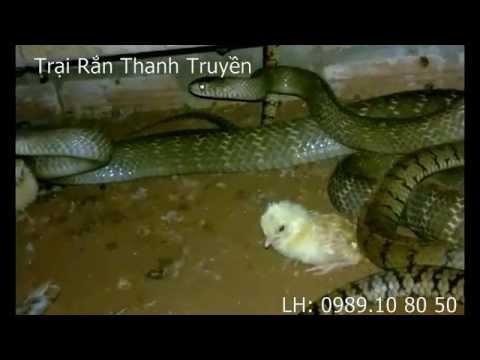 Trại Rắn Thanh Truyền 2015 .rắn ráo trâu mùa sinh sản
