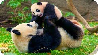 Панды! Смешные и Милые! Funny Panda / Забавная Видео Подборка /
