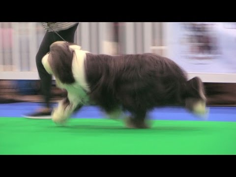 City of Birmingham Dog Show 2016 - Pastoral group FULL